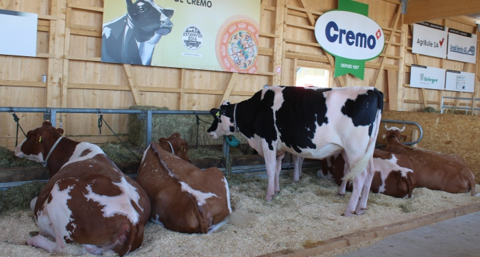 Algunas de las guapas (y enormes) vacas que constituían los premios del evento